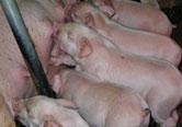 おっぱいを飲む仔豚