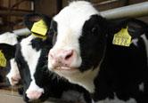 タグ管理された乳牛